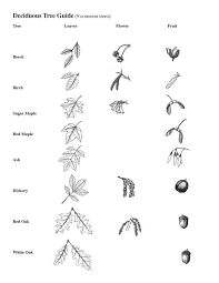 Deciduous Tree Guide Biological Science Picture Directory