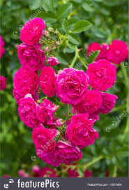 flowers branch of beautiful pink roses as heart against green background