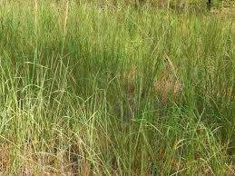 tall grass texture. Texture Of Green Tall Grass. Grass