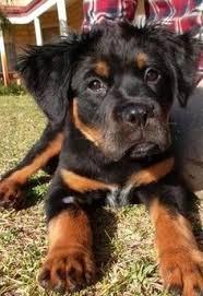 Small Picture Australian Shepherd BowWow Canine Cur Doggy Fido Flea Bag