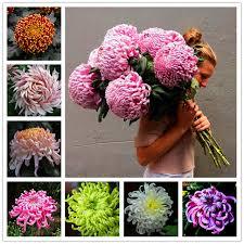 100pcs chinese mum rare perennial bonsai flower indoor bonsai plants chrysanthemum plant for home garden mixed color flowers