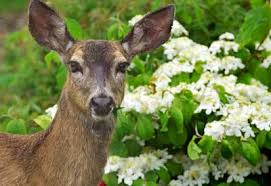 how to keep deer away from garden. deer in garden how to keep away from