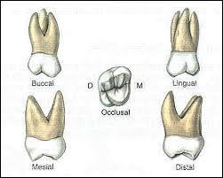 Maxillary Second Molar 03 Dental Charting Signs Of Teeth Htm