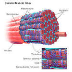 striated muscle cell