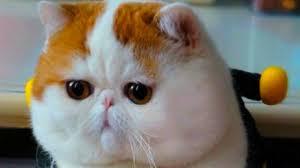 exotic shorthair orange and white. Modren Exotic YouTube Premium In Exotic Shorthair Orange And White