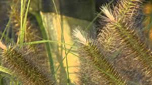 Pennisetum Alopecuroides Magic