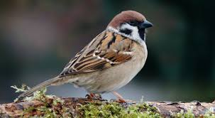 Image result for pictures of sparrows