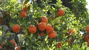 4K Palm Tree Fruit Bunch Hang Green Leaf Orange Flower Tropical Palm Tree Orange Fruit