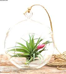 great plants for terrarium in diy simplicity air plant terrarium kit airplant aeranthos hanging air plant