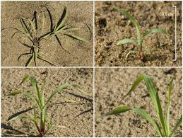 Identifying Sub Tropical Grass Seedlings Agriculture And Food