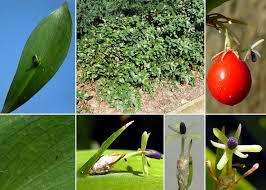 Ruscus hypoglossum L. - Portale alla flora del Parco Nazionale ...