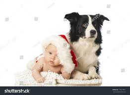 Christmas Baby Border Collie Dog Stock ...