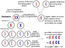 Mendelian Genetics Chart Mendelian Genetics