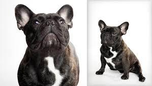 french bulldog french bulldog