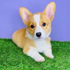 Pembroke Welsh Corgi Puppies for Sale ...