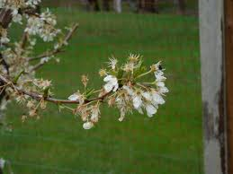 Plum Tree Not Fruiting Part  28 Plum Tree Levi Cant Wait For Our Plum Tree Not Producing Fruit