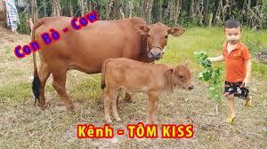 đi chăn bò cầm cay roi thật to - bài hát con bò - YouTube