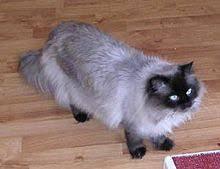 Himalayan Cat Wikipedia