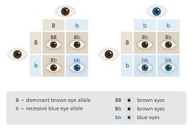 Eye Color Recessive Dominant Chart What Is Inheritance Biology Lessons Teaching Biology