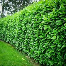Best 25 Schip Laurel Ideas On Pinterest Fast Growing Hedge Fast Growing  Privacy Shrubs