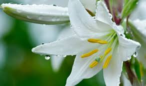 know lily flower meaning symbolism