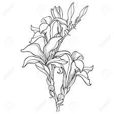黒白い背景で隔離の芽花の束やカンナ カンナのアウトラインと分岐します夏デザインと塗り絵の華やかな花