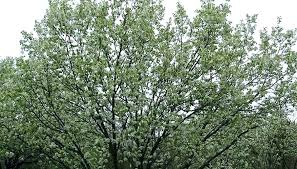 Moonglow Pear Pollination Chart Ayers Pear Tree Lapergola Info