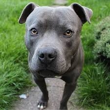 The pitbull husky mix is a medium to large sized crossbreed. Staffordshire Bull Terrier Pdsa