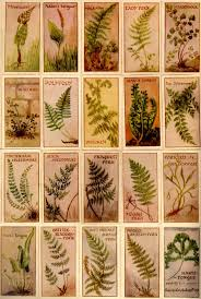 types of ferns and their names. pteridomania types of ferns and their names i