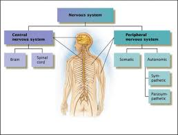 Comparative Functions Of Nervous And Endocrine Systems Chart Endocrine Vs Nervous System Difference Between