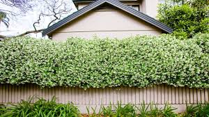 Stock Photo Of Climbing Plants On The Fence Csp14489541  Search Climbing Plants For Fence
