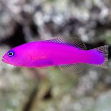 Dottyback Compatibility Chart Saltwater Aquarium Fish For Marine Aquariums Purple Dottyback
