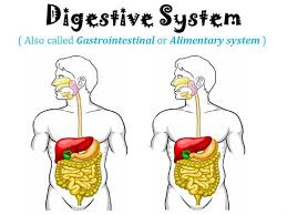 digestive system authorstream digestive system authorstream