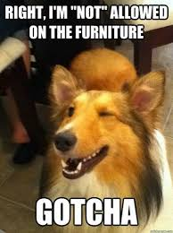 funny furniture. funny dog meme not allowed on the furniture yeah right t