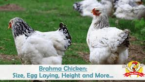 Cochin Chicken Color Chart Brahma Chicken Size Egg Laying Height And More