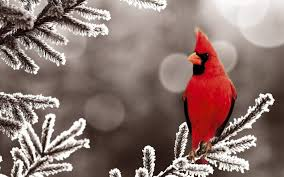 winter cardinal wallpaper. Perfect Winter Cardinals Bird  Cardinalsnow Wallpaper  Bird Wallpapers And Pictures For  Desktop Intended Winter Cardinal T