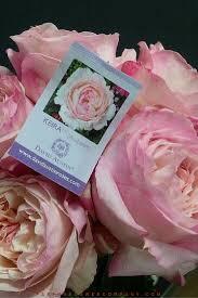 david austin wedding rose keira 008