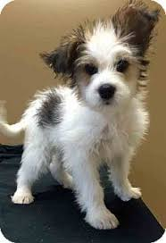 wire haired jack russell terrier. Pictures Of Mario Wirehaired Fox TerrierJack Russell Terrier Mix For Adoption In Gahanna And Wire Haired Jack
