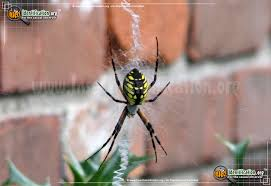 full sized image 13 of the black and yellow garden spider