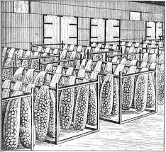 Курсовая работа возделывание картофеля сорта Раменский в  Рисунок 3 4 Предпосадочное проращивание семенных клубней Проращивание семенных клубней следует рассматривать как высокоэффективный необходимый агроприем