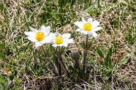 Anemone Alpina (Pulsatilla alpina L. Delarbre subsp. millefoliata ...