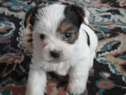white teacup yorkie puppies for sale. Wonderful Puppies Contact Us For Availablility In White Teacup Yorkie Puppies For Sale