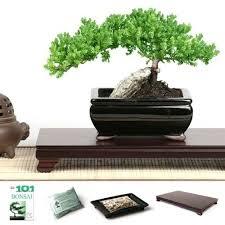 rock juniper bonsai tree gift set