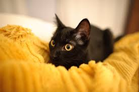 cute black cats with yellow eyes. Unique Cute Cute Black Kitten With Yellow Eyes In Cats With