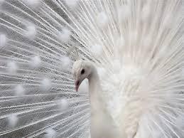 Bildergebnis für peacock white