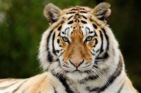 essay on tiger national animal of speech article paragraph short essay on tiger n national animal essay lines about tiger paragraph on