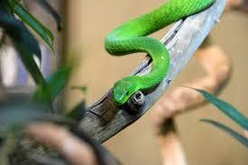 Walau biasanya yang masuk ke rumah bukan jenis ular berbisa, tetap saja berbahaya. Cara Cegah Penanganan Ular Masuk Rumah Mommies Daily