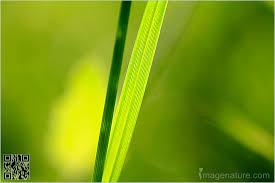 grass blade close up. Blade Of Green Grass Abstract Photo Close Up U