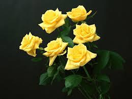 yellow rose wallpaper hd 35215
