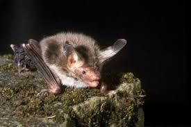 Bat Species Chart Uk Bats Types Of Bats Bat Conservation Trust